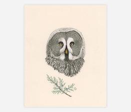 Great Grey Owl / Grey Owl Juniper